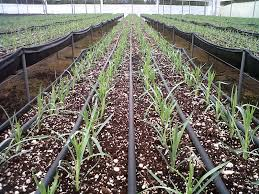 drip agriculture
